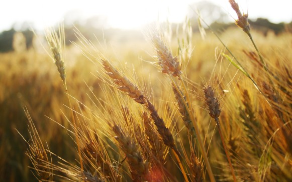 wheat-bushel-wallpaper-1